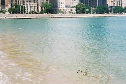 ミシガン湖の鳥